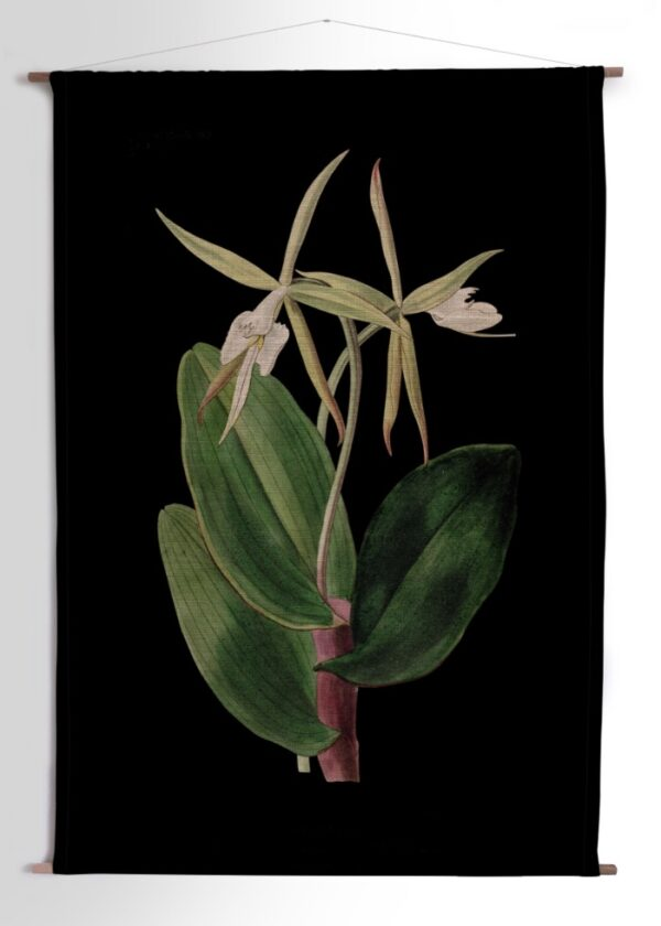 Hanging_BigOrchidWhite_SpiderOrchid_Black