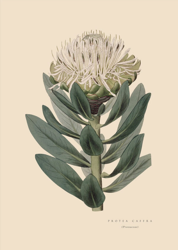 Wonderland_Protea_Pin_Cream