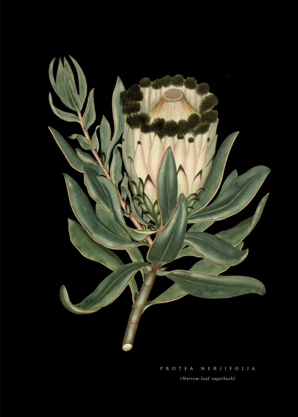 Wonderland_Protea_Sugarbush_Black